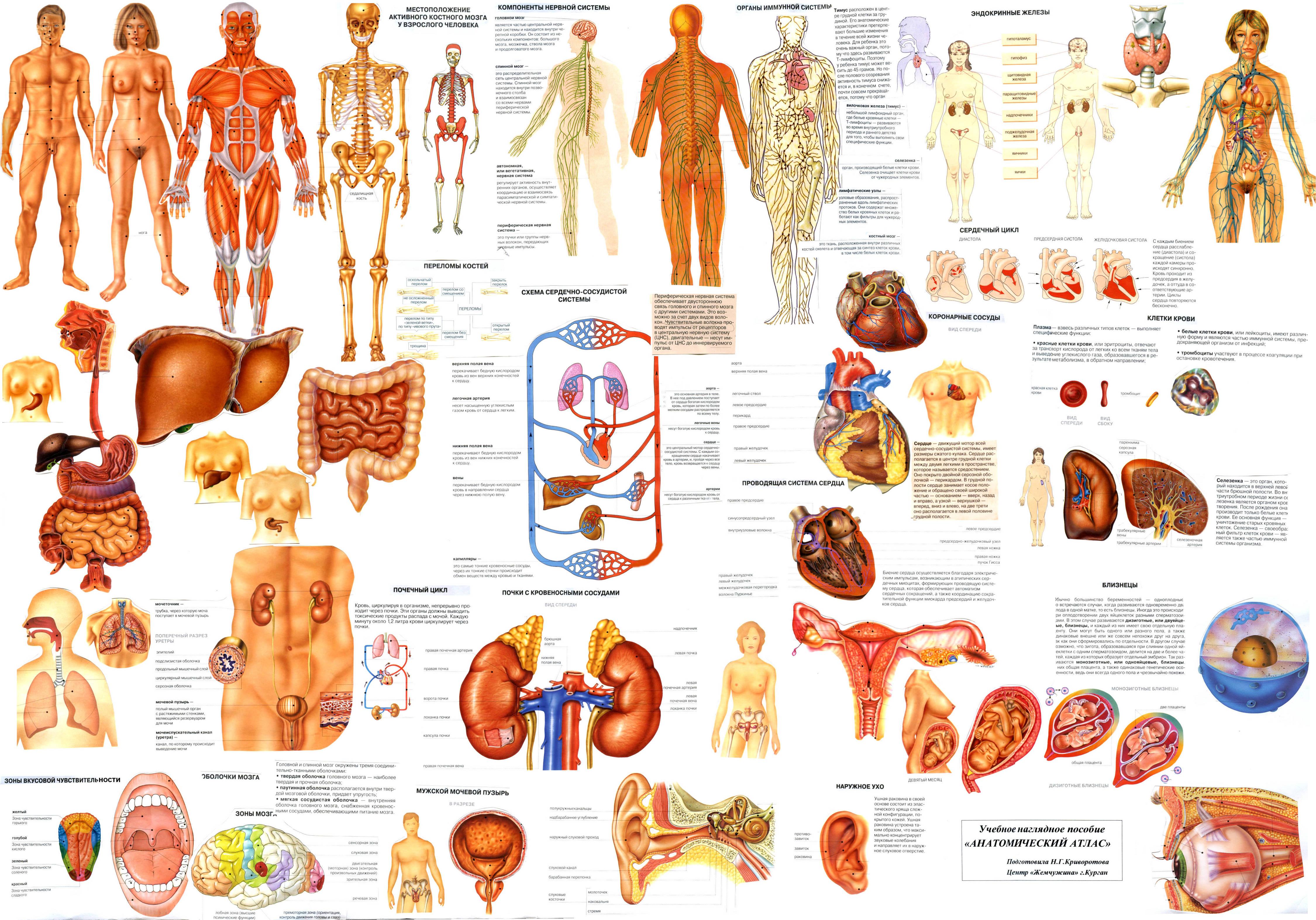 Расположение органов человека и описание схема